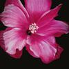 Pink Hibiscus 2 by Avie Nash.  Oil on canvas board