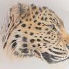Amur Leopard (colouring pencils) - The Natural World