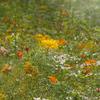 Golden meadow:  impressionist, fine art, digitial composite photograph