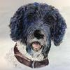 George, Labradoodle pen , graphite and pigments