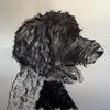 George, labradoodle. Pen and graphite