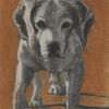Beagle portrait. Charcoal and pastel on paper