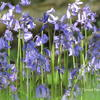 Bluebells - photograph