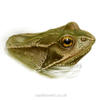 painting of a frog poking its head above water