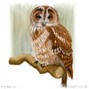 painting of a tawny owl perched on a branch