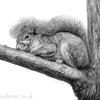 drawing of a grey squirrel lying on a tree branch with its tail covering its head