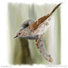 painting of a dunnock about to leap from a branch