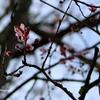Cherry Blossom - photograph