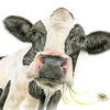 Daisy Cow - Watercolour Painting