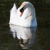Contemplative swan