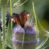 Butterfly on a teasel