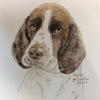 Springer spaniel, pen and pigments