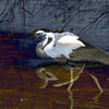 Two superimposed photographic images of an egret