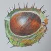 Horse chestnut, coloured pencil.
