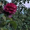 Rose, pear tree, full moon, August 1st 2020. Photograph