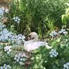 I took this photograph of a nesting swan at Stanborough Lakes.