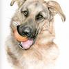 German Shepherd Dog - Pet Portrait