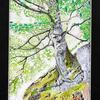 Treebeard - watercolour