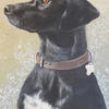 Lucy by Jo Chesney. Dog Pet portrait in acrylic on canvas