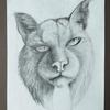 Lynx drawn with graded drawing pencils.