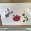 Rosa Dark Secret. Botanical watercolour.