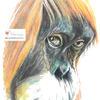 Orangutan (colouring pencils) - The Natural World