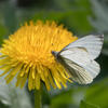 Female Orange Tip Butterfly on a dandelion flower