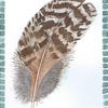 Feather sketched from life