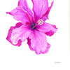 Pink Hibiscus 1 by Avie Nash. Watercolour