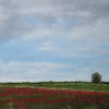 A few years ago the Woodland Trust planted a lot of poppies in the fields where trees were to be planted (by volunteers such as myself and my family). They were a spectacular view which I have never forgotten.