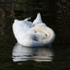 Ablution time - swan on the river Ouse