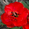 Red tulip - photograph