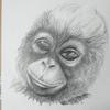 Young orangutan  drawn using graded sketching pencils