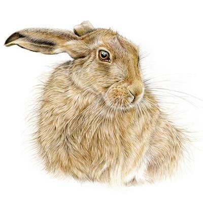 Brown Hare - Watercolour