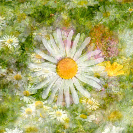 Daisy, layered over many soft, abstract flowers