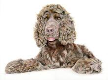 Spaniel - Pet Portrait